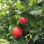 Vitamin C rich acerola cherry